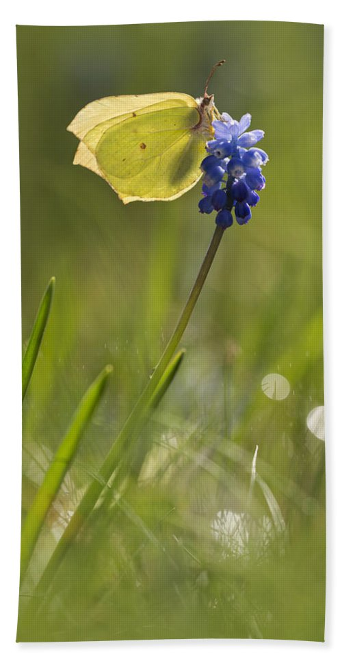 Butterfly Hand Towel featuring the photograph Gonepteryx Rhamni On The Blue Flower by Jaroslaw Blaminsky