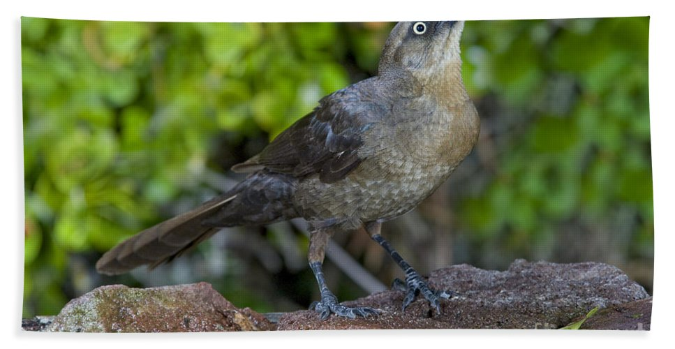 Animal Hand Towel featuring the photograph Grackle Hen by Anthony Mercieca