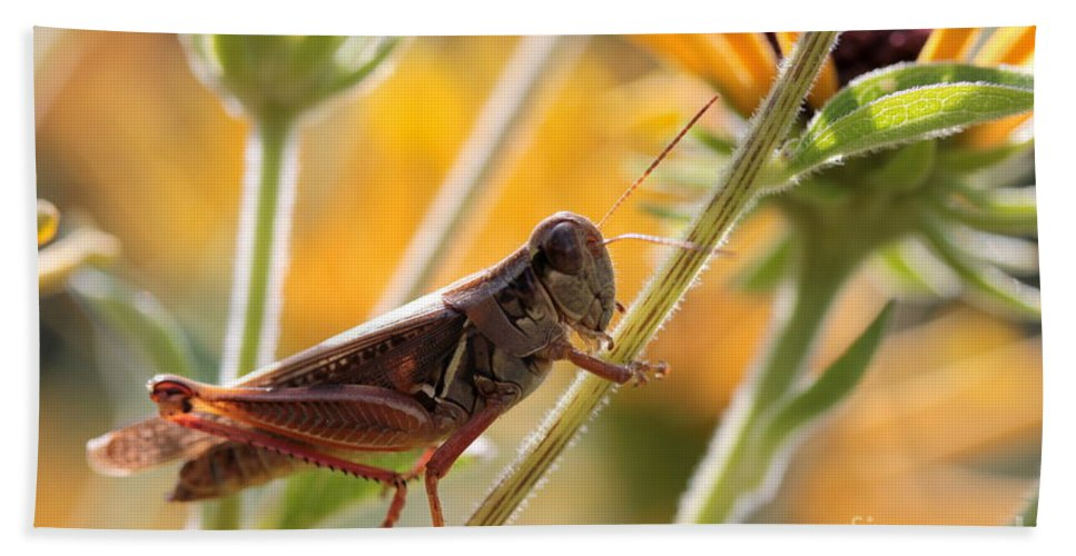 Grasshopper Bath Sheet featuring the photograph Grasshopper On Coneflower Stem by Kenny Glotfelty