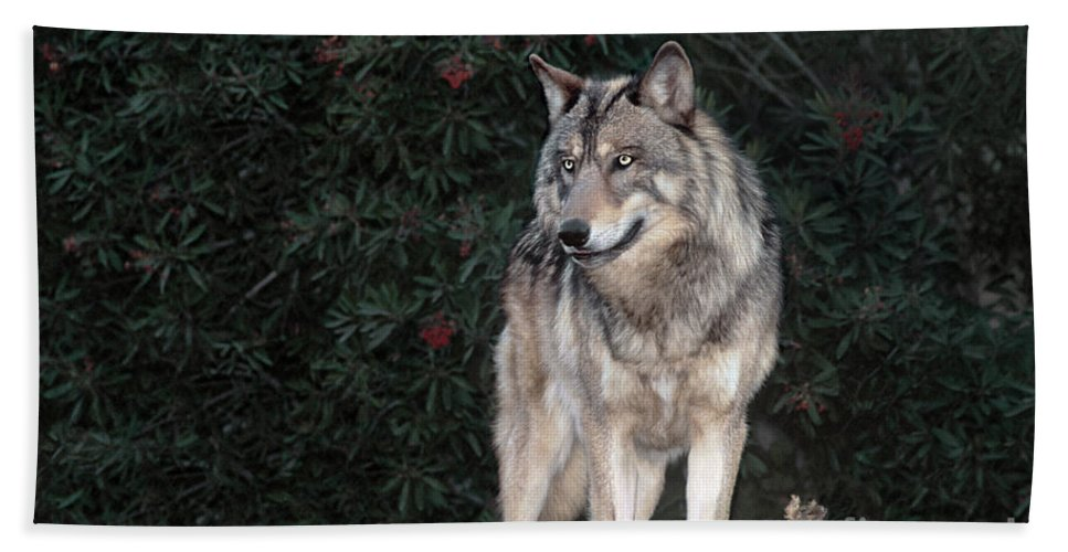 Gray Wolf Bath Sheet featuring the photograph Gray Wolf Endangered Species Wildlife Rescue by Dave Welling