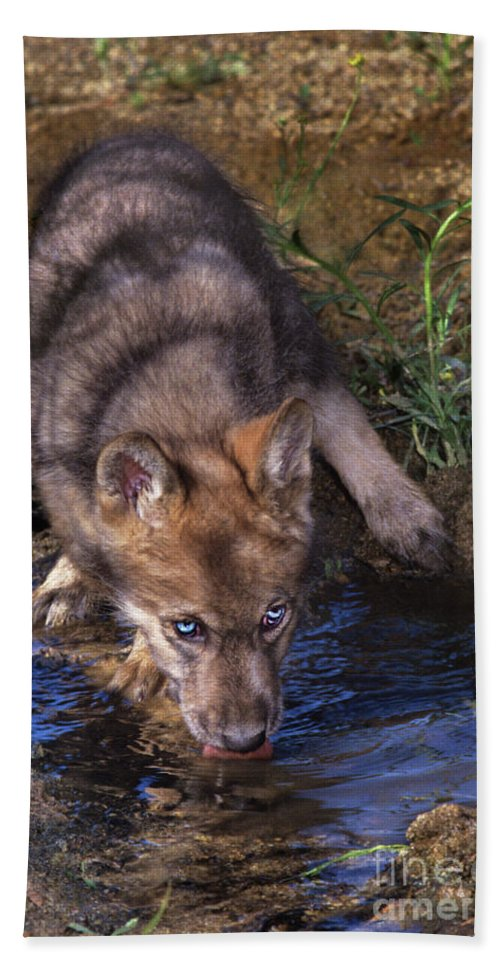 Gray Wolf Hand Towel featuring the photograph Gray Wolf Pup Endangered Species Wildlife Rescue by Dave Welling