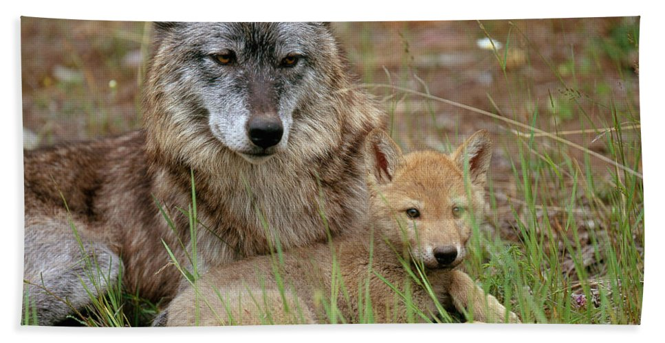 Gray Wolf Bath Towel featuring the photograph Gray Wolf With Pup by Art Wolfe
