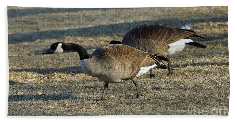 Wildlife Hand Towel featuring the photograph Grazing Geese by Lori Tordsen