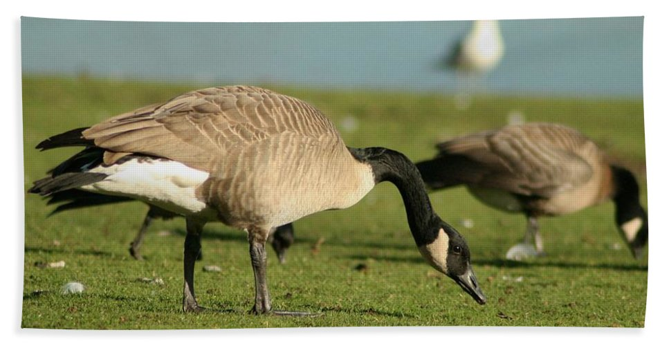 Canadian Geese Hand Towel featuring the photograph The Canadian by Teresa A Lang
