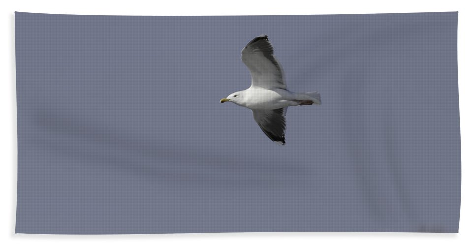 Great Black-backed Gull Bath Sheet featuring the photograph Great Black-backed Gull In Flight 1 by Thomas Young