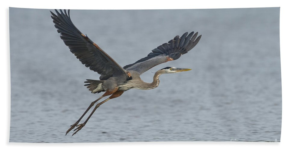 Great Blue Heron Hand Towel featuring the photograph Great Blue Heron by Anthony Mercieca