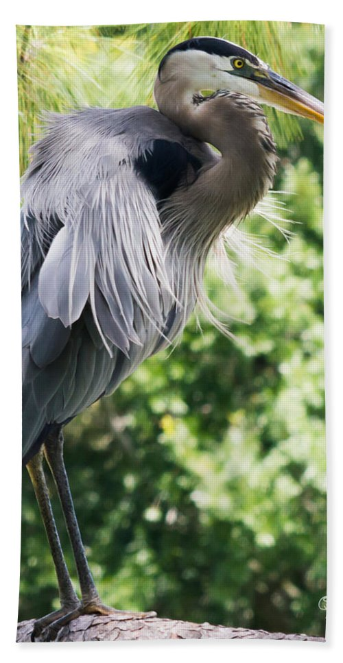 susan Molnar Bath Sheet featuring the photograph Great Blue Heron IIi by Susan Molnar