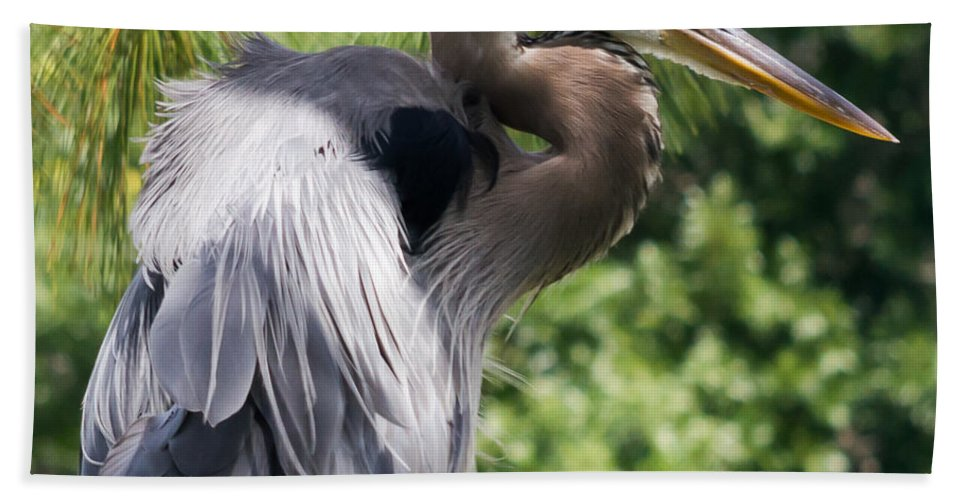 susan Molnar Bath Sheet featuring the photograph Great Blue Heron Vi by Susan Molnar