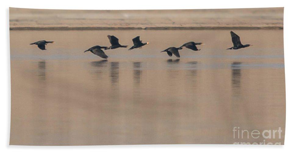 Birds Bath Sheet featuring the photograph Great Cormorant In Flight by Jivko Nakev