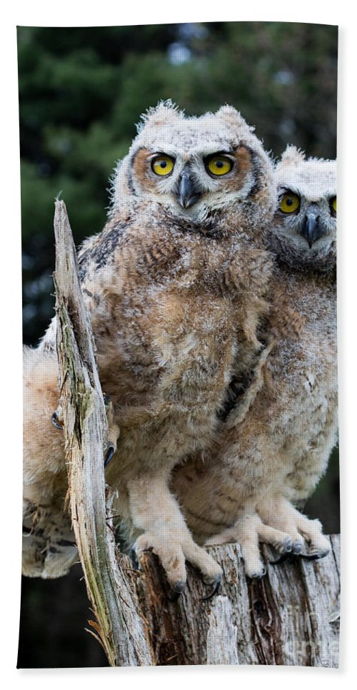 Great Horned Owl Bath Sheet featuring the photograph Great Horned Owlets by Barbara McMahon