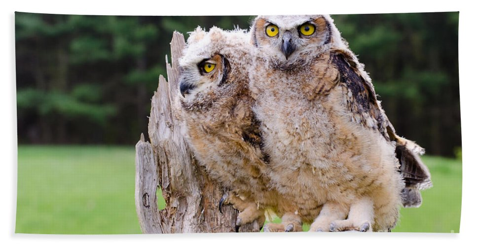 Great Bath Sheet featuring the photograph Great Horned Owlets by Les Palenik