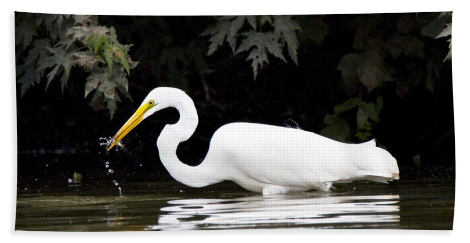 Great Blue Heron Photographs Bath Sheet featuring the photograph Great White Egret Eating Fish 2 by Vernis Maxwell