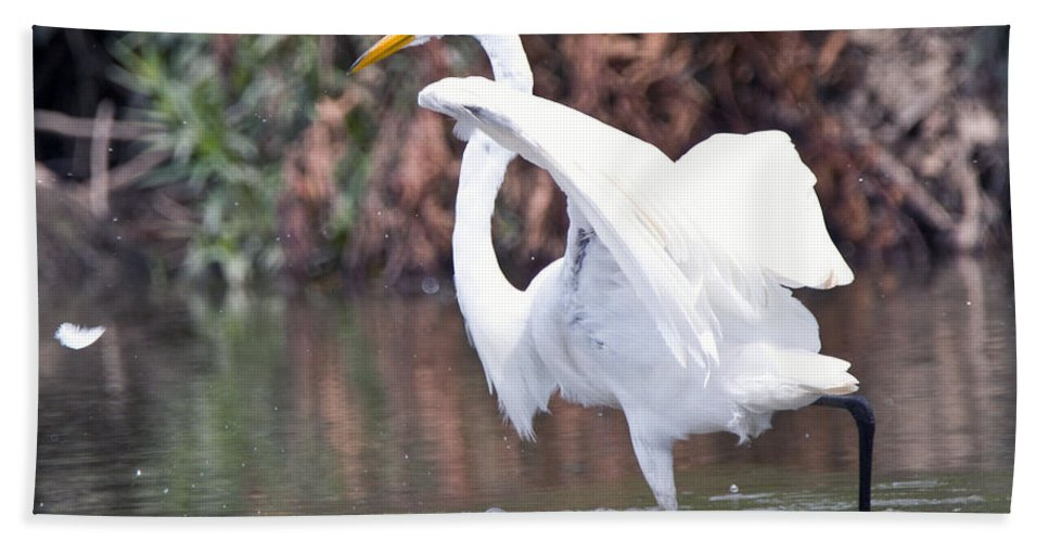 Great Blue Heron Photographs Bath Sheet featuring the photograph Great White Egret Fishing 1 by Vernis Maxwell