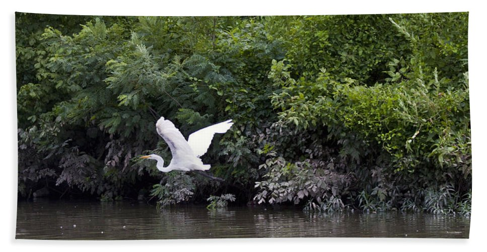Great Blue Heron Photographs Bath Sheet featuring the photograph Great White Egret Flying 3 by Vernis Maxwell