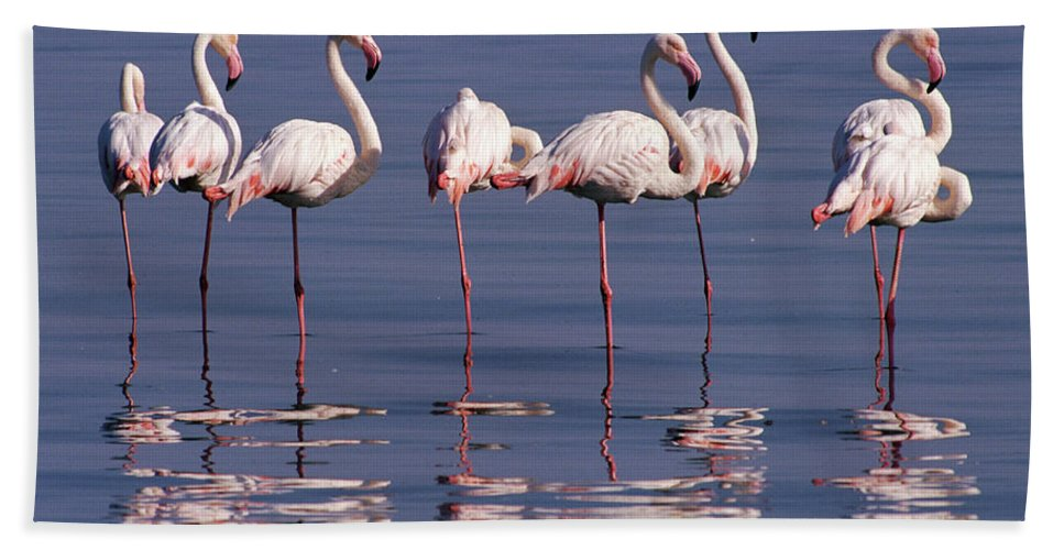 00511137 Bath Towel featuring the photograph Greater Flamingo Group by Michael and Patricia Fogden