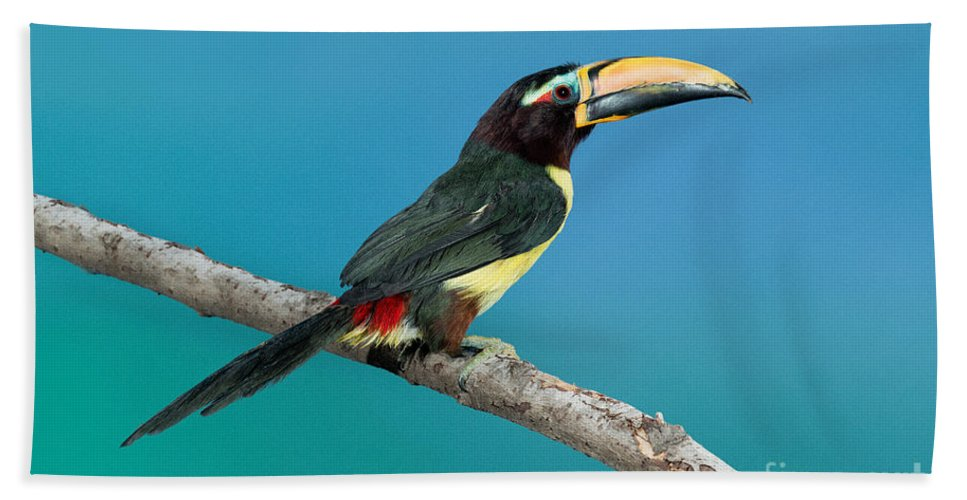 Fauna Hand Towel featuring the photograph Green Aracari On Branch by Anthony Mercieca