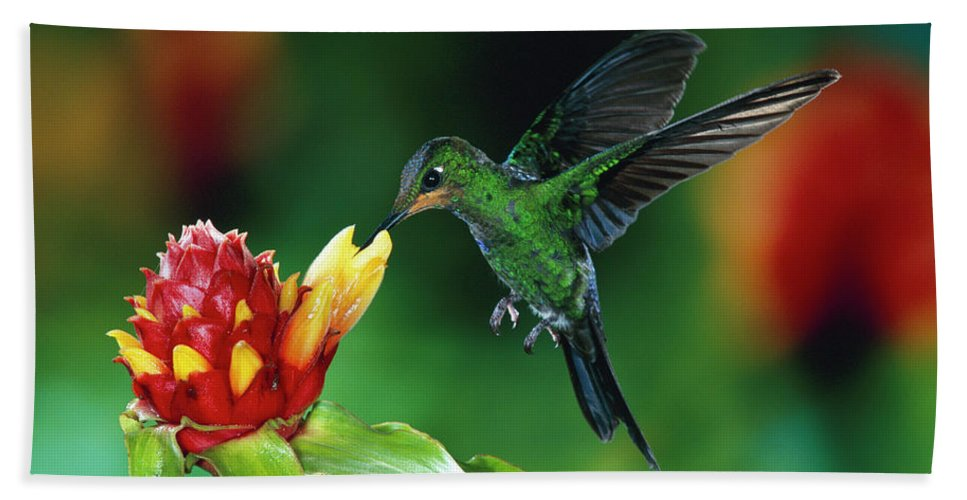 00511213 Hand Towel featuring the photograph Green-crowned Brilliant Heliodoxa by Michael and Patricia Fogden