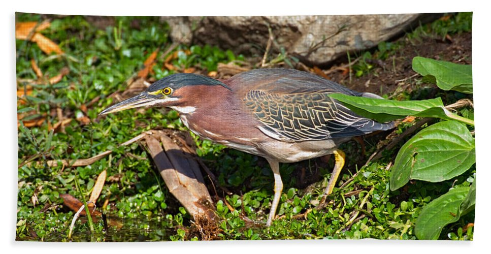 Fauna Hand Towel featuring the photograph Green Heron by Anthony Mercieca