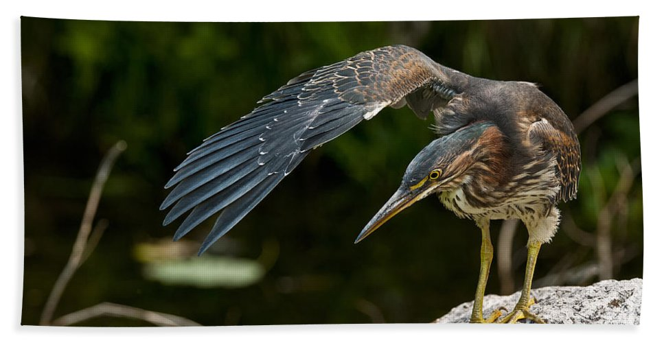 Green Heron Bath Sheet featuring the photograph Green Heron Pictures 386 by World Wildlife Photography