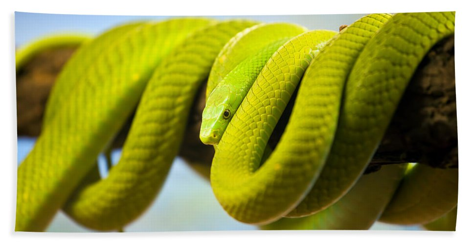 Green Bath Sheet featuring the photograph Green Mamba Coiled Up On A Branch by Artur Bogacki
