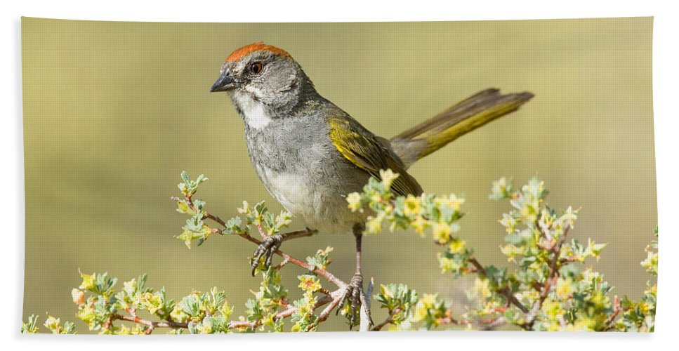 Fauna Hand Towel featuring the photograph Green-tailed Towhee by Anthony Mercieca