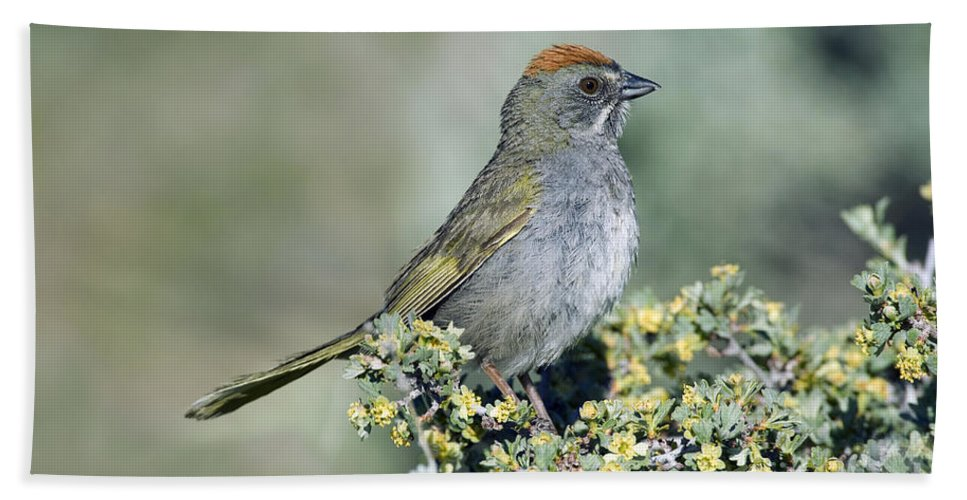 Fauna Hand Towel featuring the photograph Green Towhee by Anthony Mercieca