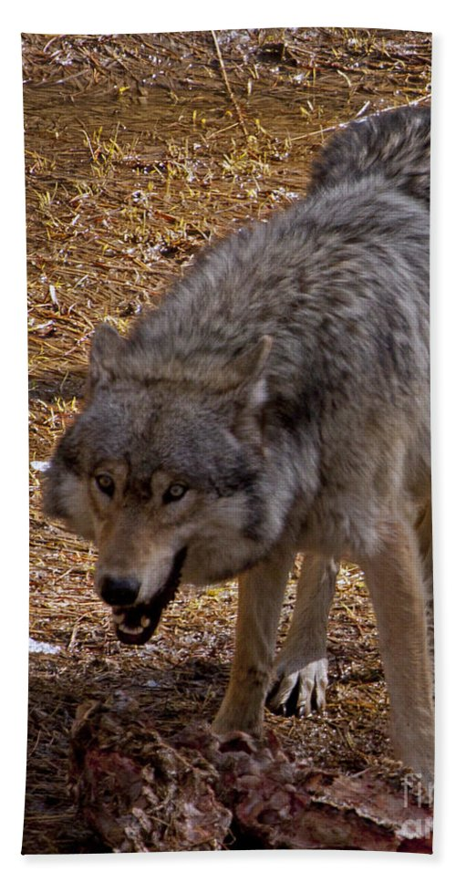 Canis Lupus Hand Towel featuring the photograph Grey Wolf  #2637-signed by J L Woody Wooden