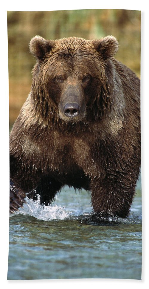 Alaska Hand Towel featuring the photograph Grizzly Bear Female Looking For Fish by Matthias Breiter