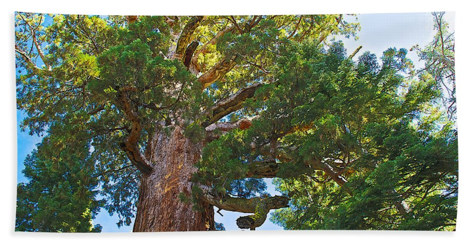 Grizzly Giant Sequoia Top In Mariposa Grove In Yosemite National Park Bath Sheet featuring the photograph Grizzly Giant Sequoia Top In Mariposa Grove In Yosemite National Park-california  by Ruth Hager