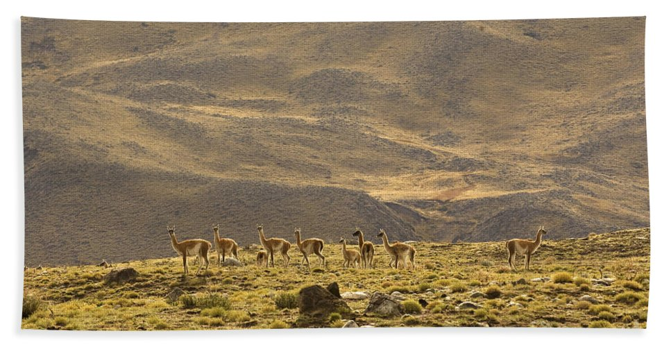 Guanaco Bath Sheet featuring the photograph Guanaco Herd, Argentina by John Shaw