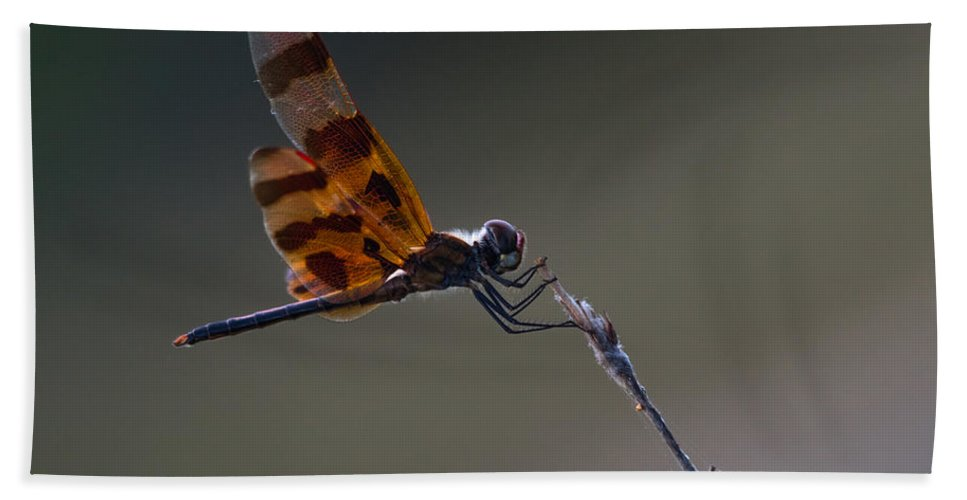 Dragonfly Bath Sheet featuring the photograph Halloween Pennant Dragonfly Perched by Ed Gleichman