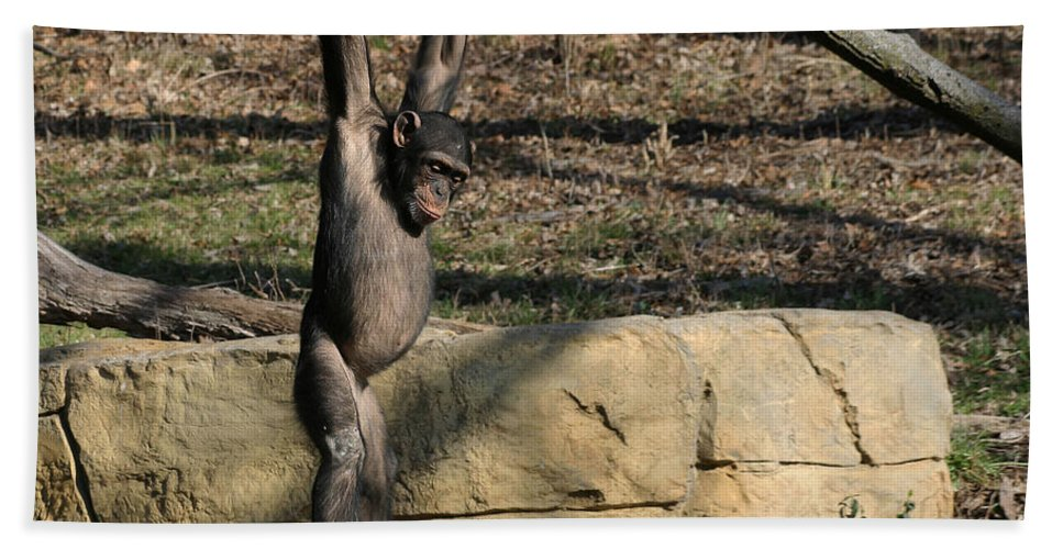 Chimpanzee Bath Sheet featuring the photograph Hanging Chimp 365 by Gary Gingrich Galleries