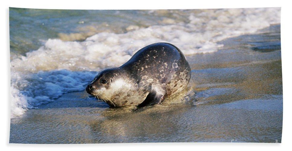Fauna Bath Sheet featuring the photograph Harbor Seal by David Davis