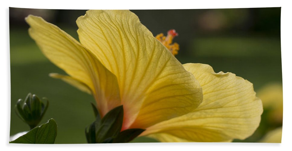 Hibiscus Hand Towel featuring the photograph Hibiscus 'sunny Wind' 3407 by Terri Winkler