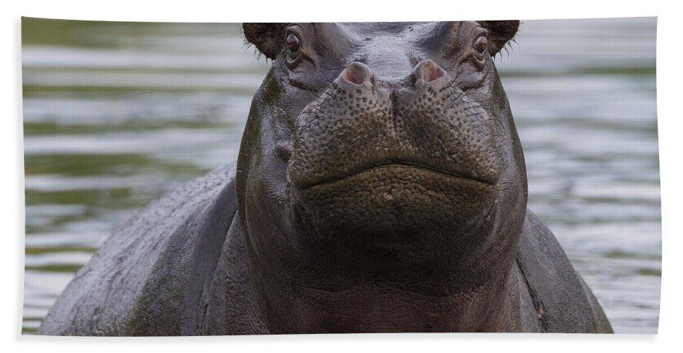 Vincent Grafhorst Bath Towel featuring the photograph Hippopotamus Bull Khwai River Botswana by Vincent Grafhorst