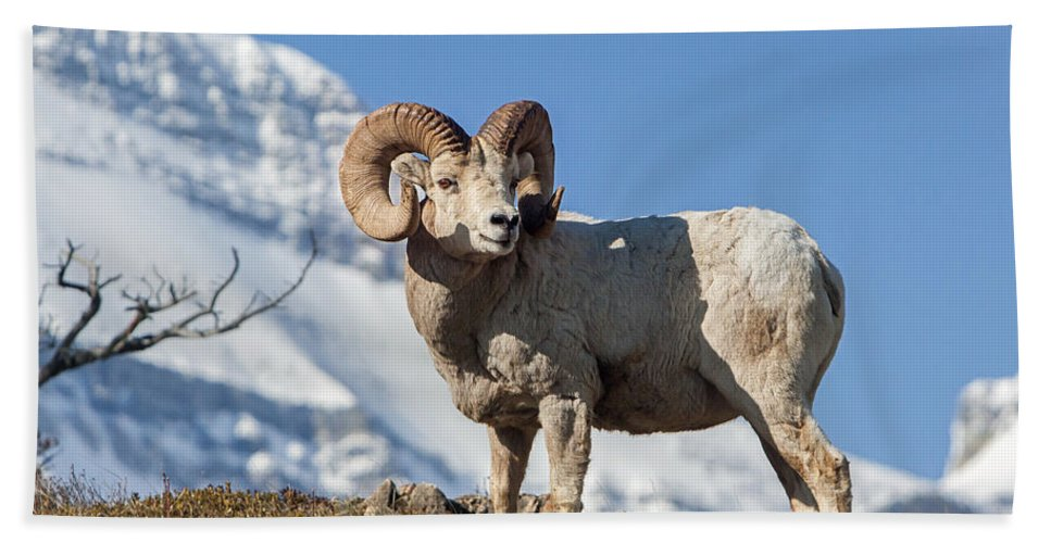 Big Horn Ram Bath Sheet featuring the photograph His Majesty by Jack Bell