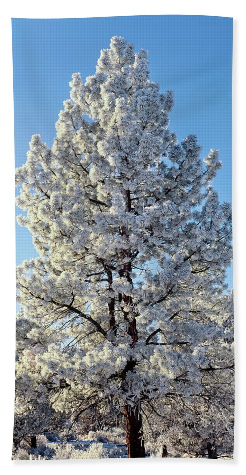 Photography Bath Sheet featuring the photograph Hoar Frost Ponderos Pine Tree, Sundance by Panoramic Images