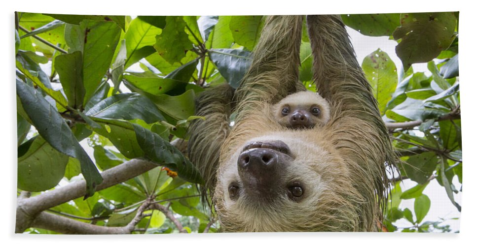 Suzi Eszterhas Bath Towel featuring the photograph Hoffmanns Two-toed Sloth And Old Baby by Suzi Eszterhas