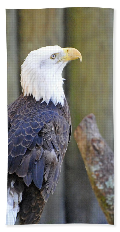 Homosassa Springs Bath Sheet featuring the photograph Homosassa Springs Bald Eagle by Jeff Brunton