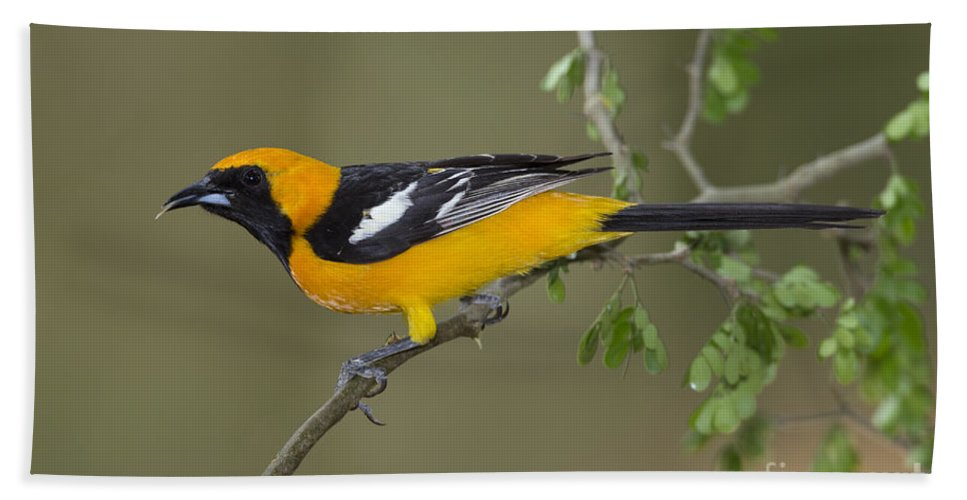 Hooded Oriole Hand Towel featuring the photograph Hooded Oriole by Anthony Mercieca
