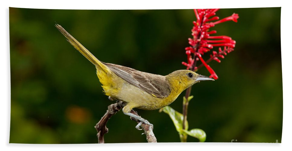 Hooded Oriole Hand Towel featuring the photograph Hooded Oriole Female by Anthony Mercieca