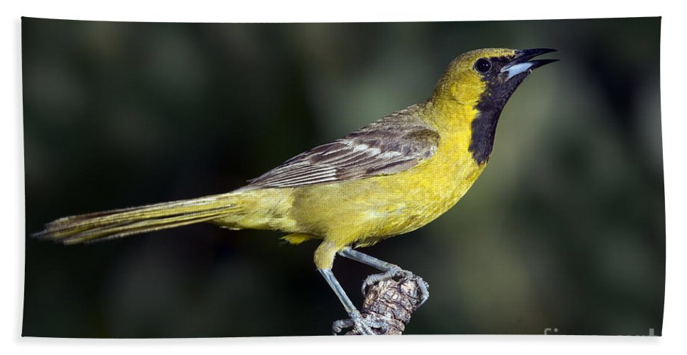 Hooded Oriole Hand Towel featuring the photograph Hooded Oriole Juvenile by Anthony Mercieca