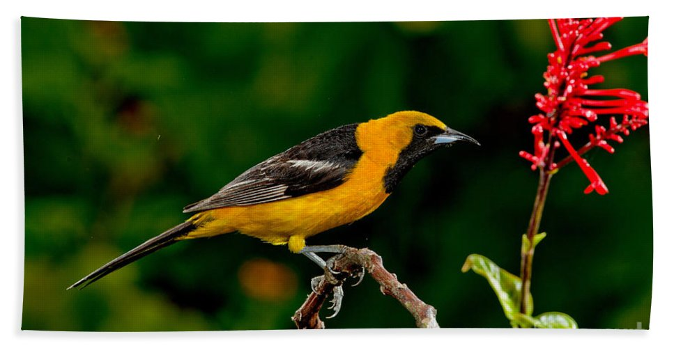 Fauna Hand Towel featuring the photograph Hooded Oriole Male by Anthony Mercieca