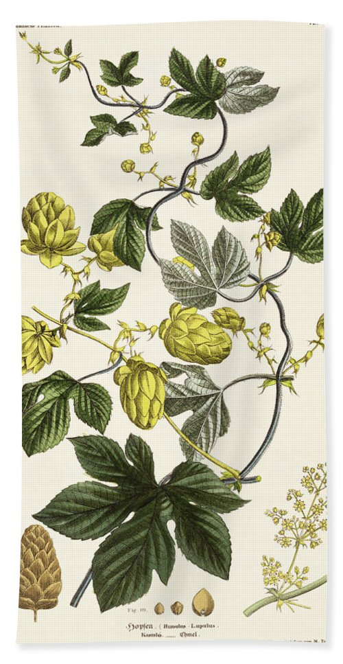 Hops Hand Towel featuring the drawing Hop Vine From The Young Landsman by Matthias Trentsensky
