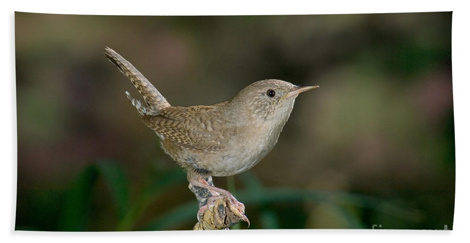 Fauna Hand Towel featuring the photograph House Wren by Anthony Mercieca
