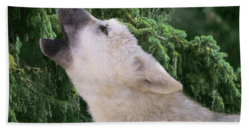 Arctic Wolf Bath Sheet featuring the photograph Howlling Arctic Wolf Pup Endangered Species Wildlife Rescue by Dave Welling