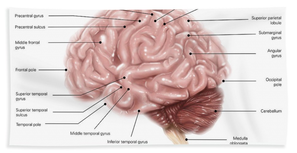 Human Brain Anatomy Lateral View Hand Towel For Sale By Alan Gesek