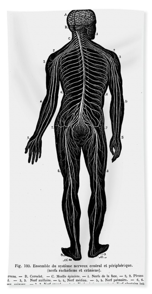 19th Century Bath Sheet featuring the photograph Human Nervous System by Granger