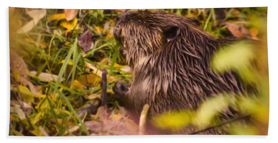 Beaver Bath Sheet featuring the photograph Hungry Beaver by Andrea Goodrich