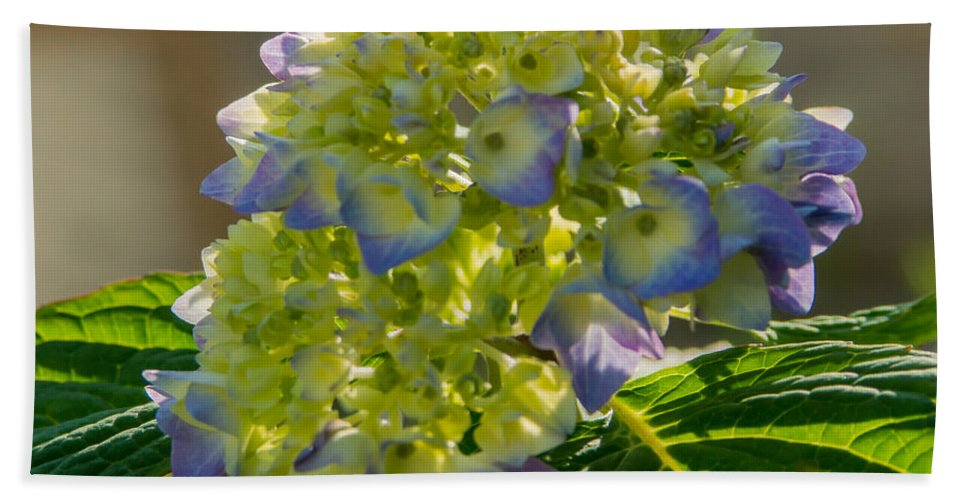 Hydrangea Bath Sheet featuring the photograph Hydrangeas First Blush by Photographic Arts And Design Studio